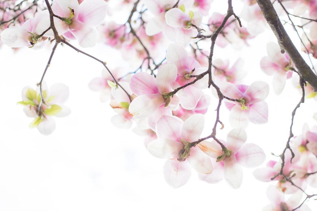 295/365 - Magnolias