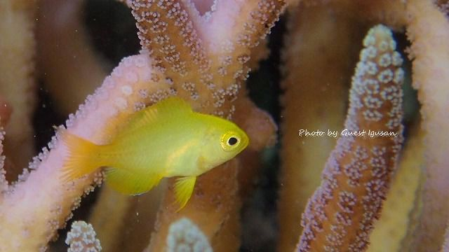 ネッタイスズメダイをはじめ、スズメダイ系の幼魚があふれてますよ~。