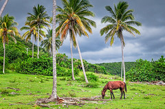 Cuban horse in field