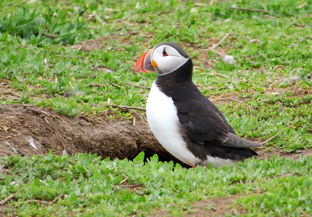 Puffin just outside its burrow, Farne islands, England
