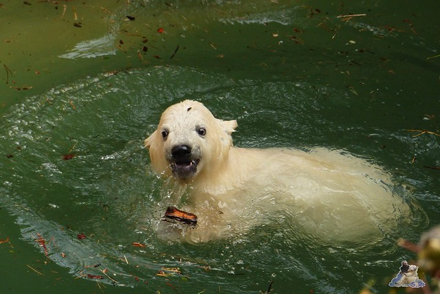 Eisbär Fiete Zoo Rostock 11.04.2015 Teil 1 189