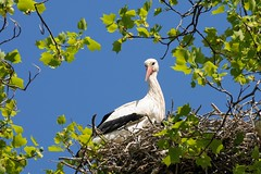 26. April 2015 - 13:58 - Weißstorch im Tulpenbaum im Zoo Heidelberg.-- White stork in heidelberg's zoo.ciconia ciconia