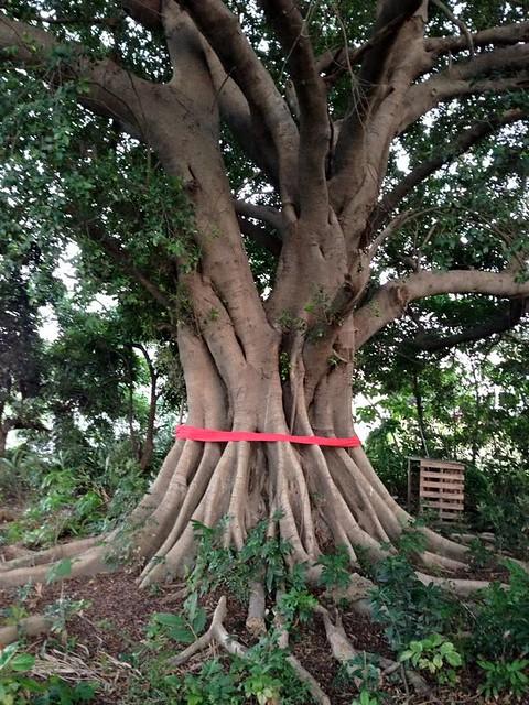 台南寄領老榕樹,陪伴當地居民多年,是居民共同記憶,卻無法入列珍貴樹木。