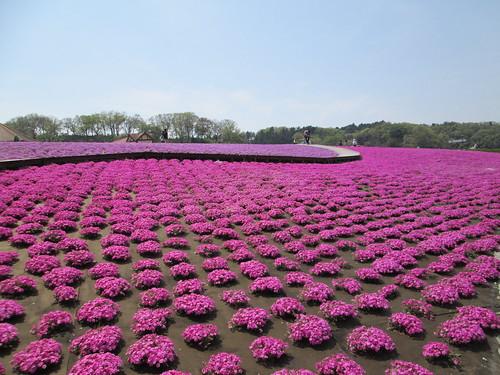 22_東京ドイツ村の芝桜_1