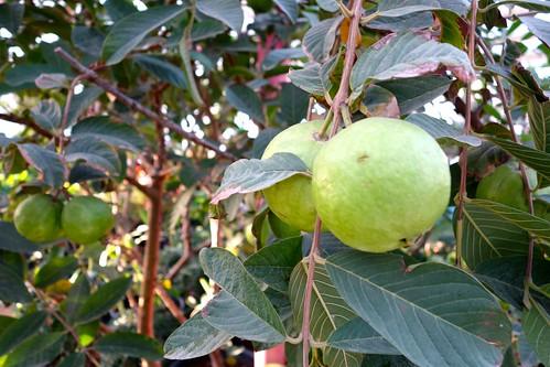 Guava - جوافة