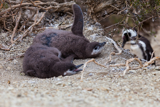 Magellanic penguins / Magellan-Pinguine (Spheniscus magellanicus) - Monte León National Park, Patagonia, Argentina