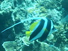 Long-Fin bannerfish