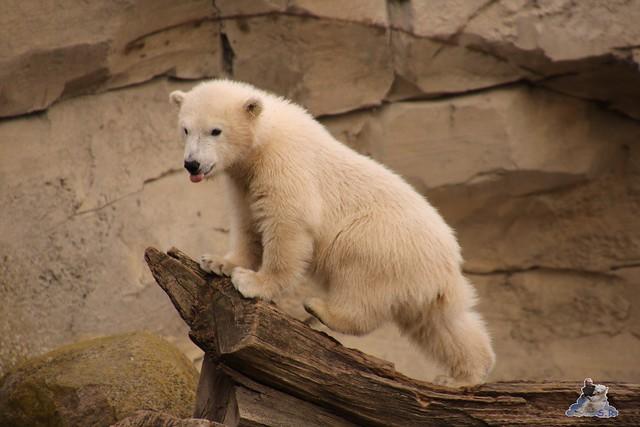 Eisbär Lili im Zoo Bremerhaven 30.04.2016 Tei 1  01