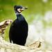 Kormoran - great black cormorant (Phalacrocorax carbo)