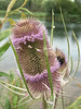 20160717_8751-teasel-bee_resize