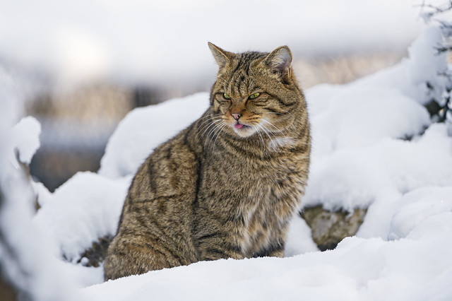 Wild cat posing in the snow