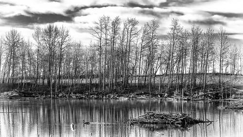 trees blackandwhite bw white black water grass clouds landscape geese spring pond ducks beaver alberta deadwood beaverdam