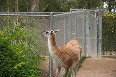 alpaca(0.0), emu(0.0), flightless bird(0.0), ratite(0.0), animal(1.0), zoo(1.0), mammal(1.0), llama(1.0), fauna(1.0), vicuã±a(1.0), guanaco(1.0), wildlife(1.0),