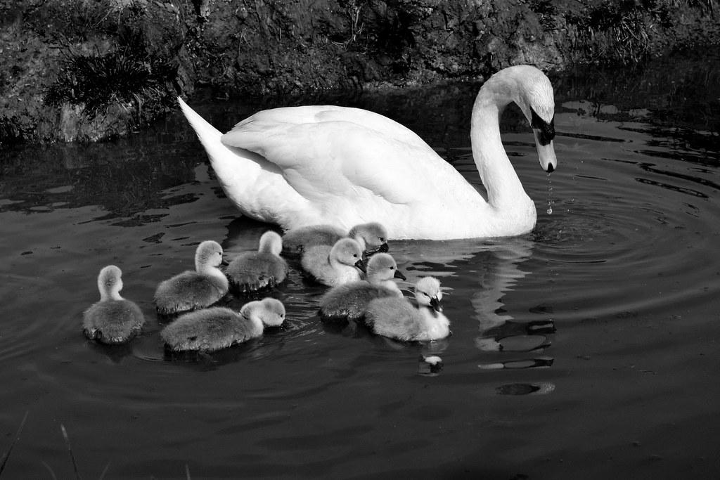 19 Mute Swan family