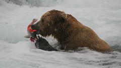 Niedźwiedź grizzli pod wodospadem zjada złapanego łososia.