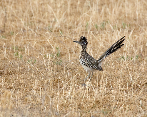 wild bird field grassland greaterroadrunner geococcyxcalifornianus treklightly