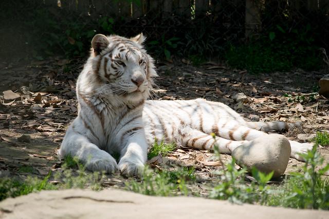 ホワイトタイガー(White tiger)