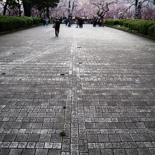 桜へと続く道