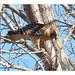 Buse à épaulettes - Red-shouldered Hawk - Buteo lineatus