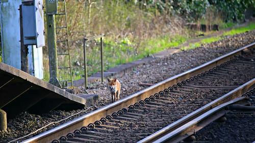 Fox off the rails