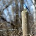 Mountain Blue Bird by labels_30