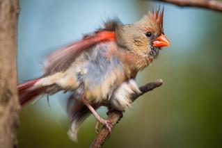Northern Cardinal | Lexington, KY