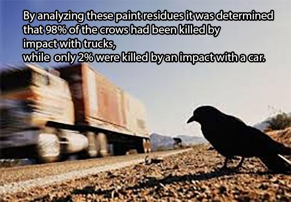 Išanalizavę tų dažų likučius buvo padaryta išvada, kad 98 procentai visų šių varnų buvo nužudytos dėl paukščių susidūrimų su sunkvežimiais, o tik 2 procentai - su automobiliais.