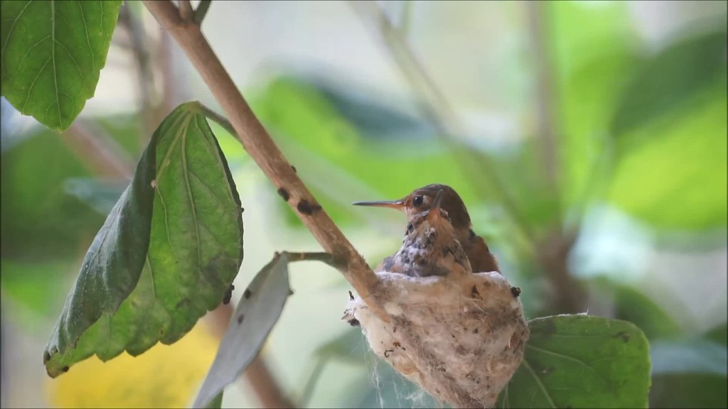Hummingbird Fledging : First Flight