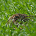 Brown Hare - close up - by Wouter's Wildlife Photography