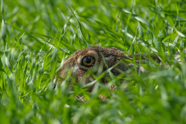 Brown Hare - close up -