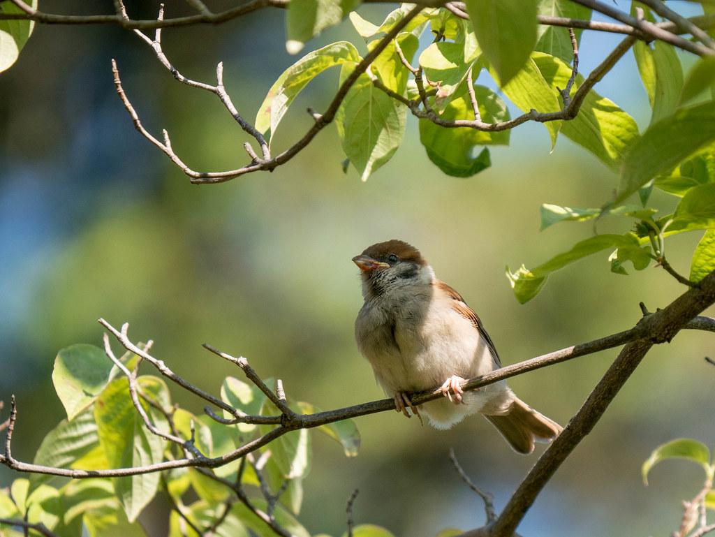 スズメの幼鳥の横顔