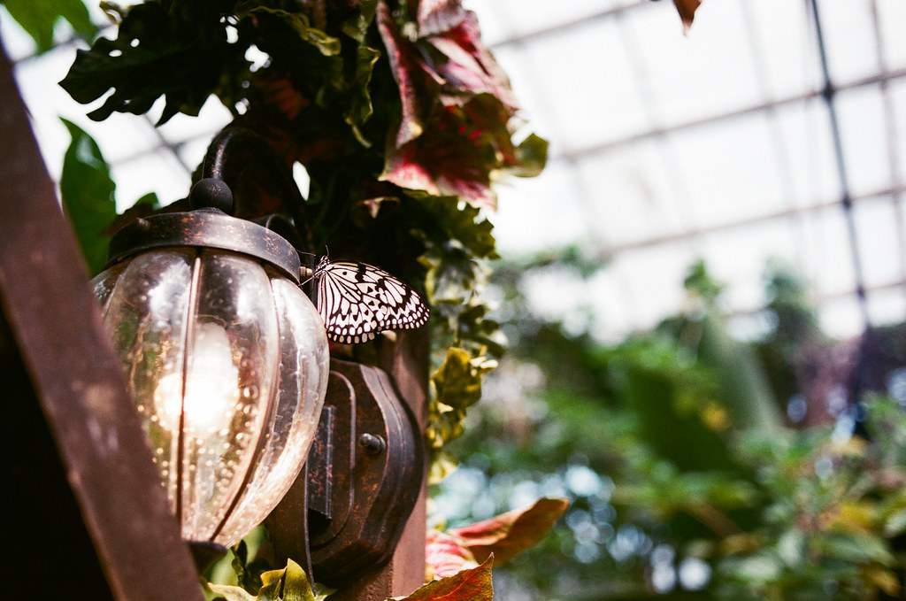 水果樂園 沖繩 Okinawa, Japan / AGFA VISTAPlus / Nikon FM2 水果樂園,我以為是假的蝴蝶,因為靜止的有點太過於不真實。  還是她故意靜止讓我拍,因為知道我對焦很慢。  Nikon FM2 Nikon AI AF Nikkor 35mm F/2D AGFA VISTAPlus ISO400 2193-0008 2015-10-26 ~ 2015-10-27 Photo by Toomore