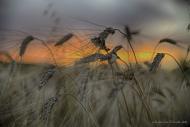Oltre le spighe , il tramonto .Over the ears of corn, at sunset.