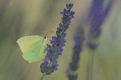 Le Citron de Provence (Gonepteryx cleopatra) - Photo of Carnoules