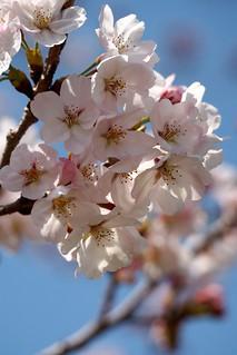 2015 Cherry blossom #5