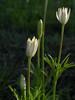 Anenome heterophylla