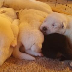 Puppy pile! #shepsky #husky #GSD #germanshepherddog #puppy #dogsofinstagram