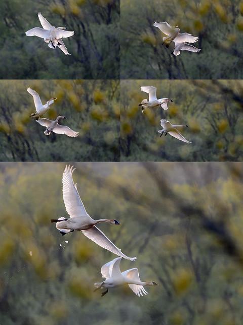 Swan Fight.jpg