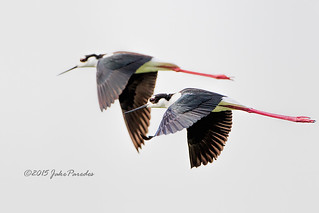 The flight of the Black-necked Stilts