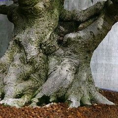A close up on the mighty tree trunk of a #Chinese Banyan #bonsai from the collection of the #Chicago Botanic #Garden. (在 #芝加哥 北郊是 #芝加哥植物園。) (#シカゴ植物園 は #シカゴ の北郊外にあります。)