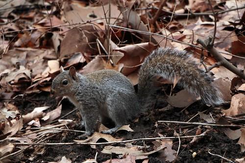 Central Park: scoiattoli