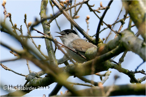 Blackcap [Male]