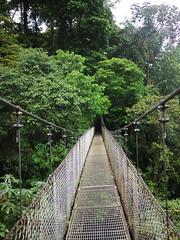 woodland, rainforest, suspension bridge, leaf, canopy walkway, green, forest, rope bridge, natural environment, jungle, bridge,