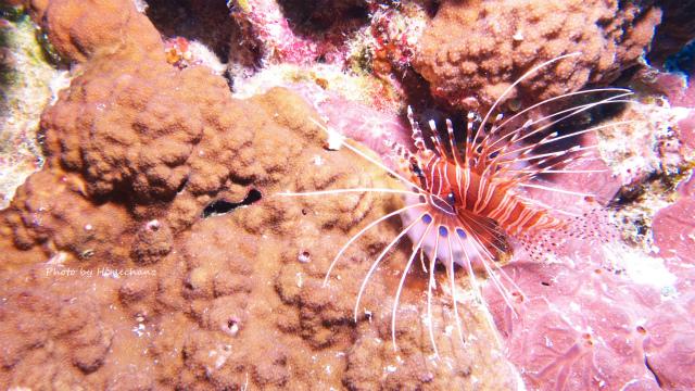 ネッタイミノカサゴ幼魚