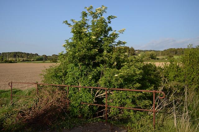 Sambucus nigra et cultivars - sureau noir - Page 2 17295292206_7449451741_z