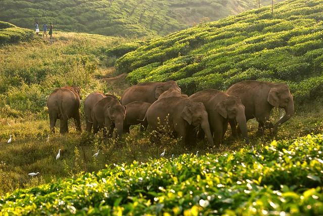 印度每年約有100頭大象,必須穿越茶園,前往對面的雨林。來源:(Ganesh Raghunathan/Whitley Awards)
