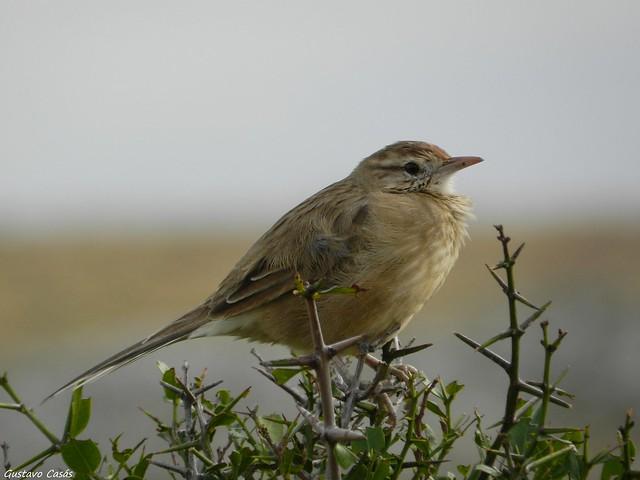 Espinero (Anumbius annumbi)