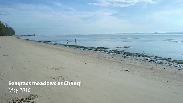Seagrass meadows at Changi