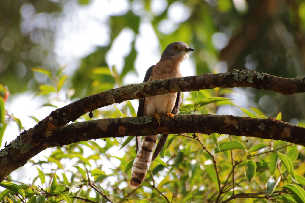 Common Hawk Cuckoo