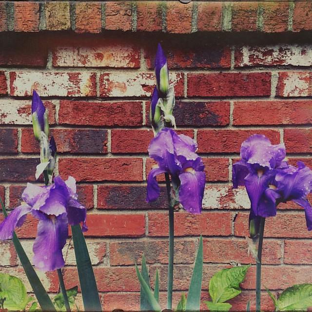 Irises #irises #iris #flowers #patiogardens #patiogarden #brick
